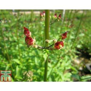 Scrophularia auriculata