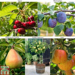 Fruit Tree Collection (Mini Fruit Tree)