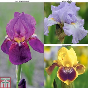 Bearded Iris Collection