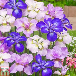 Iris Sibirica Mixed
