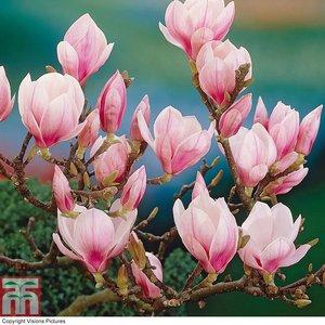 Magnolia Soulangean