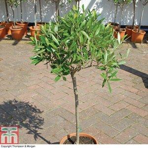 Olive Tree (Standard)