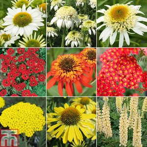 Perennial Hot Summer Colour Collection