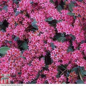 Sedum ewersii var. homophyllum