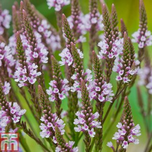 Verbena hastata f. rosea