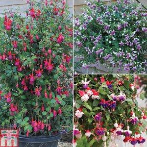 Fabulous Fuchsia Collection