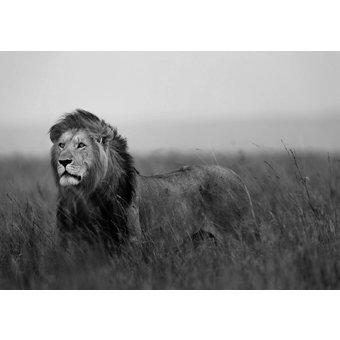 CONSALNET Fototapete Löwe, verschiedene Motivgrössen, für das Büro oder Wohnzimmer