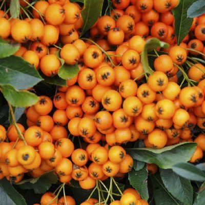WINTER SALE - Pyracantha Orange Glow - Firethorn