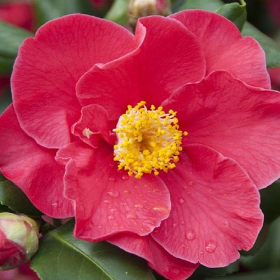 Camellia japonica Dr King - Semi-Double Red Camellia