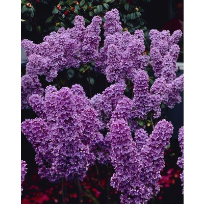 WINTER SALE - Syringa vulgaris Ludwig Spaeth - Fragrant Purple Lilac