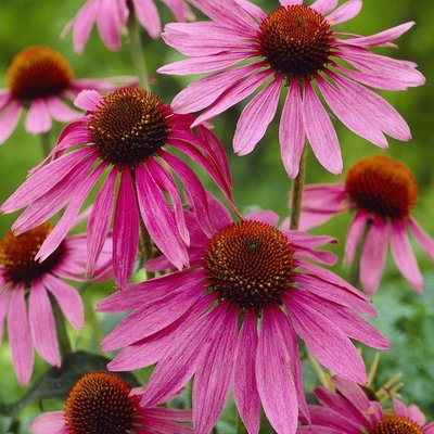 WINTER SALE - Echinacea purpurea - Purple Cone Flower Plants
