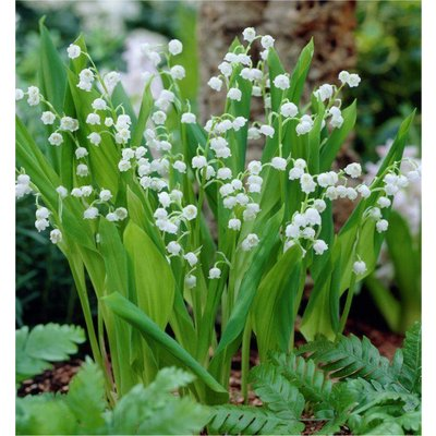Fragrant Lily of the Valley - Convallaria Majalis - Pack of THREE Plants
