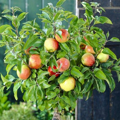 WINTER SALE - Patio Fruit Tree - Compact Apple