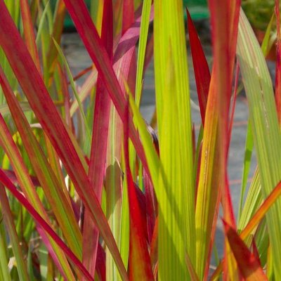 Japanese Blood Grass - Imperata cylindrica Red Baron - Pack of SIX Plants