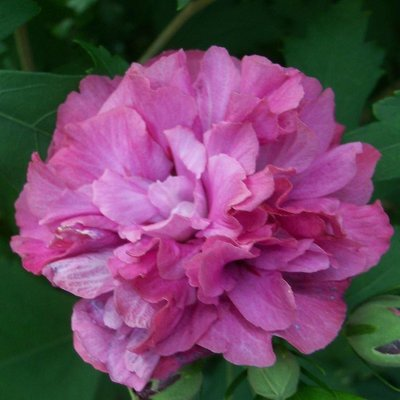 WINTER SALE - Hibiscus Duc de Brabant - Double Flowered