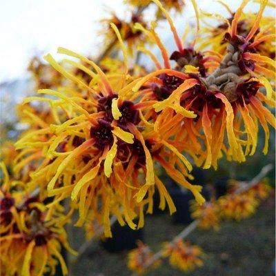 Hamamelis x intermedia Orange Beauty - Witch Hazel