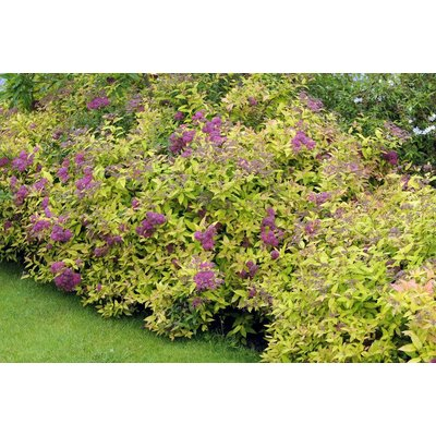 WINTER SALE - Spirea Golden Princess - Pack of THREE Plants