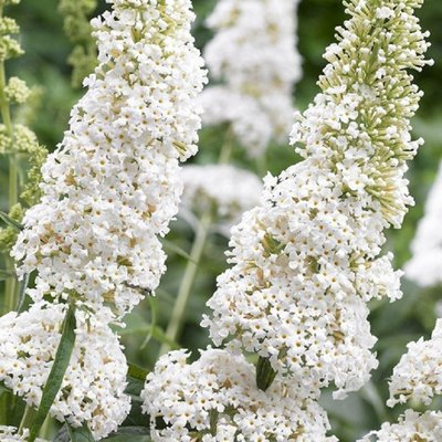 Buddleja davidii White Profusion - White Butterfly Bush Buddleia