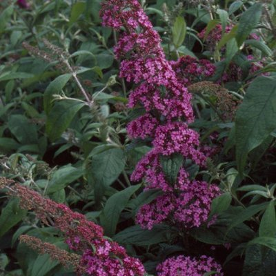 Buddleja davidii Pink Delight - Butterfly Bush Buddleia