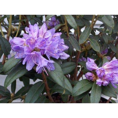 Dwarf Rhododendron Blue Tit