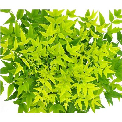 Nandina domestica Lemon-Lime - Brightly Coloured Heavenly Bamboo