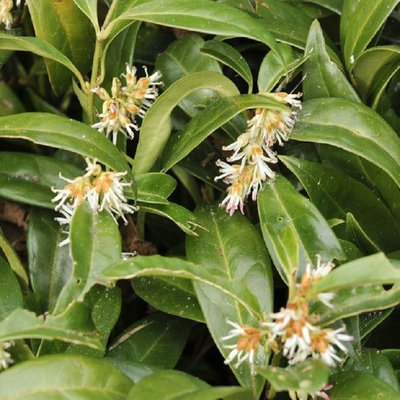 Sarcococca hookeriana humilis - Fragrant Sweet Box