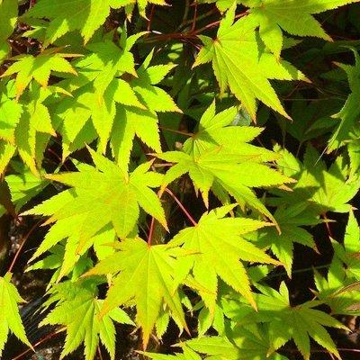 Acer palmatum Ueno Yama - 100-120cms Japanese Maple