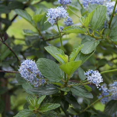Ceanothus Victoria - Evergreen Californian Lilac