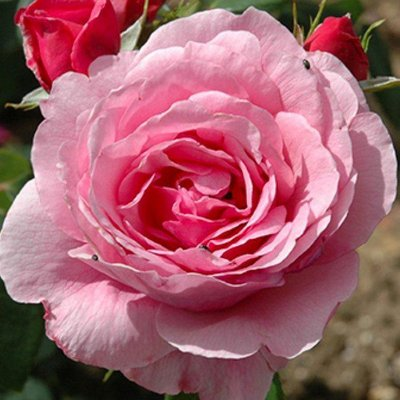 WINTER SALE - Rose Horatio Nelson - Shrub Rose