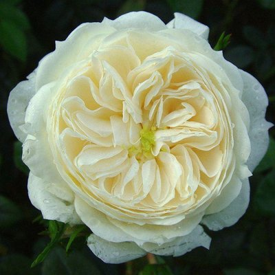 WINTER SALE - Rose Macmillan Nurse - Shrub Rose