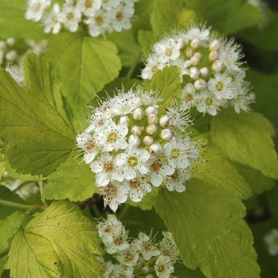 WINTER SALE - Physocarpus opulifolius Darts Gold - Ninebark
