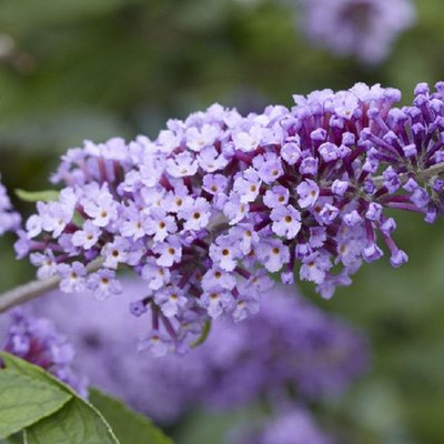 WINTER SALE - Buddleja Flutterby Flow - Lavender Flow Butterfly Bush Buddleja
