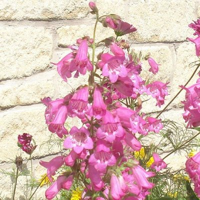 WINTER SALE - Penstemon Apple Blossom