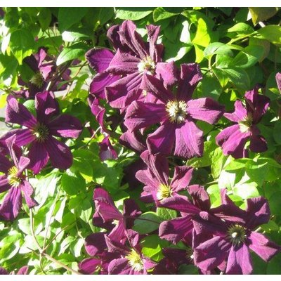 WINTER SALE - Clematis Romantika - Summer Flowering Clematis
