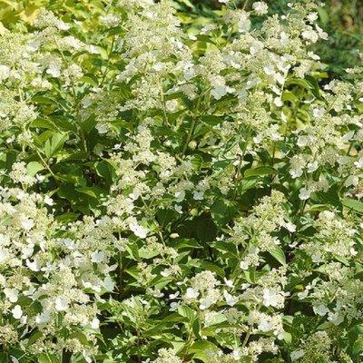 Hydrangea paniculata Kyushu - Panicle Hydrangea