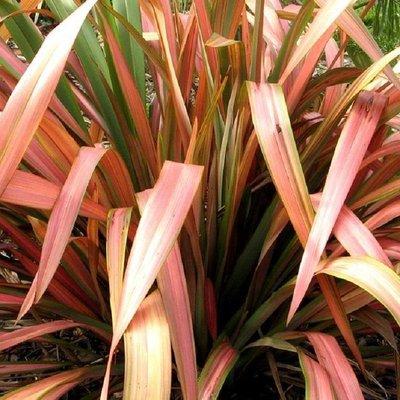 WINTER SALE - Phormium Flamingo - New Zealand Flax