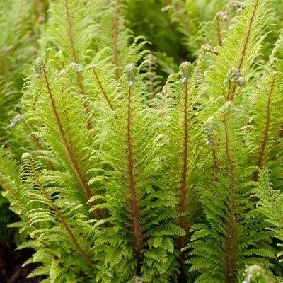 Polystichum setiferum Proliferum - Fern