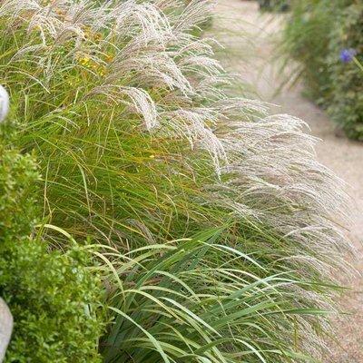 Miscanthus sinensis Kleine Fontaine - LARGE Specimen