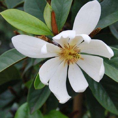 Michelia Magnolia Fairy White - New Fragrant White Evergreen Magnolia