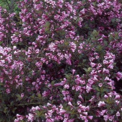 Weigela florida nana purpurea
