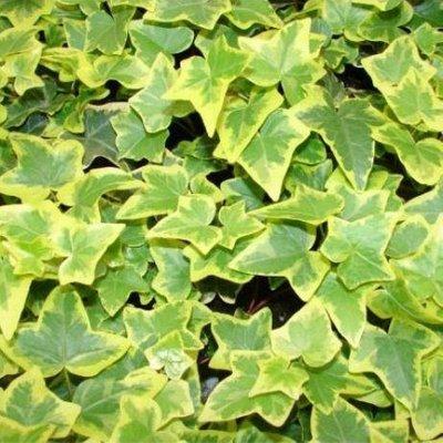 WINTER SALE - Hedera Helix Goldchild - Golden variegated Ivy