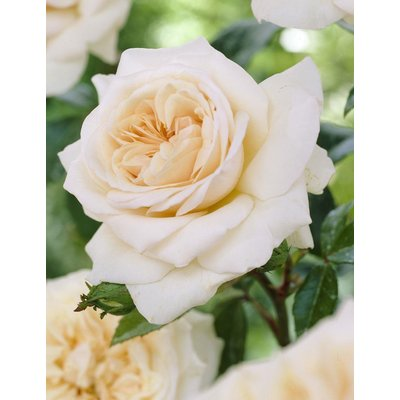 WINTER SALE - Large 6-7ft Specimen - Climbing Rose Penny Lane