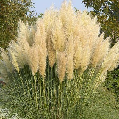WINTER SALE - Dwarf Pampas Grass - Cortaderia selloana Pumila