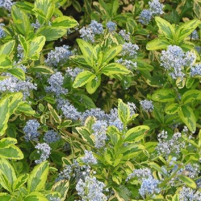 Ceanothus Eldorado - Golden Variegated Californian Lilac