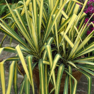 WINTER SALE - Yucca Colour Guard - Variegated Adams Needle