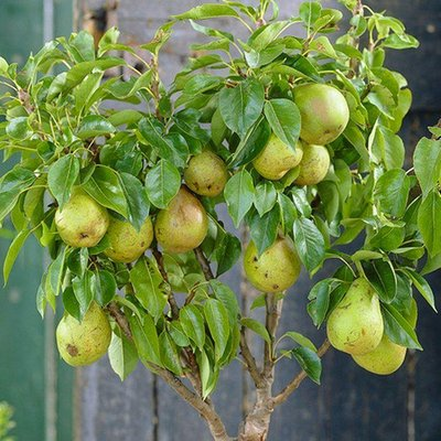 WINTER SALE - Patio Fruit Tree - Compact Pear