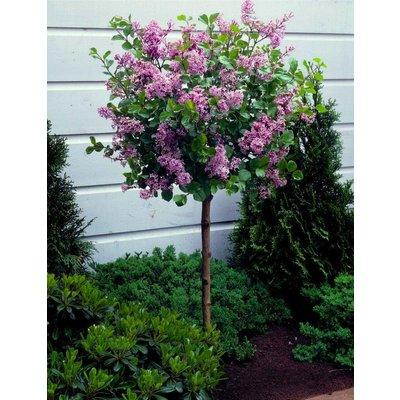 Dwarf Korean Lilac Tree - Syringa Palibin - PATIO Standard Tree - 70-80cms tall