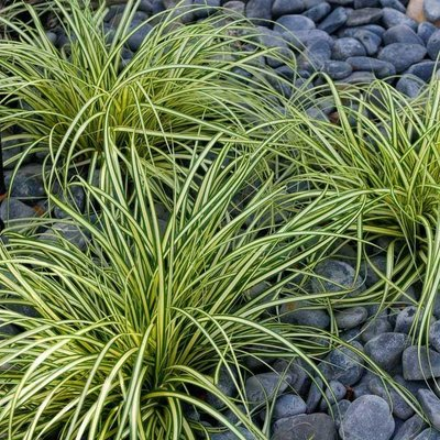 Carex oshimensis Evergold - Japanese Sedge - Pack of THREE