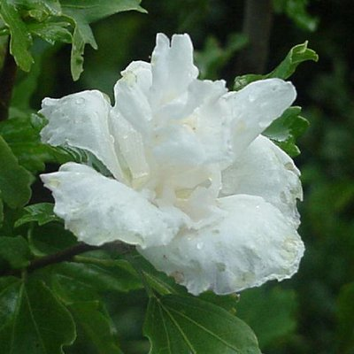 Hibiscus Admiral Dewey - Double Flowered
