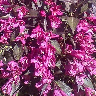 Weigelia follis nana purpurea
